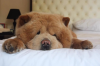 Look-at-this-adorable-dog-who-looks-like-a-bear-2-24445-1499701791-0_dblbig