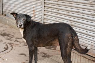 INDIA_DOG