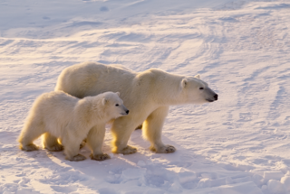 POLAR_BEAR_AND_CUB