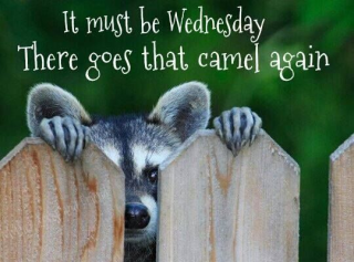 183291-It-Must-Be-Wednesday-There-Goes-That-Camel-Again