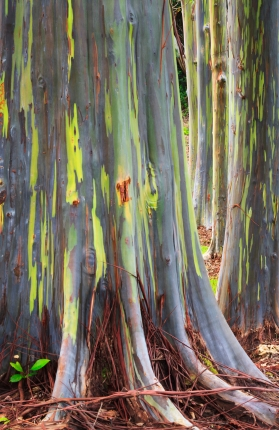 The Rainbow Eucalyptus has vibrant colored bark