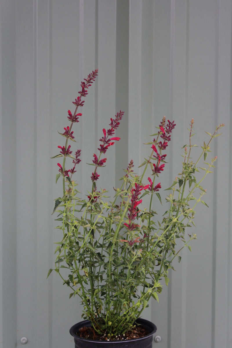 Agastache 'Raspberry Nectar' ™ Container