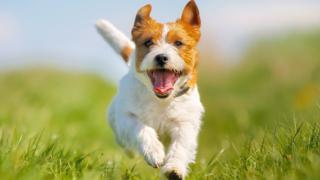 Dog-running-jpg