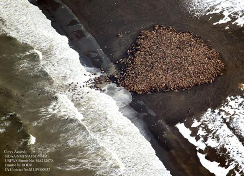 NOAA-walruses-ashore1-800w