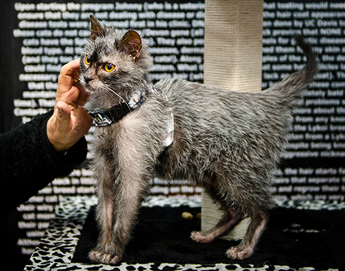 Blog-lykoi-cats-1-500w