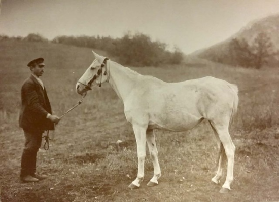 Photograph of an Arabian horse