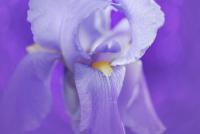 Iris-558503_640
