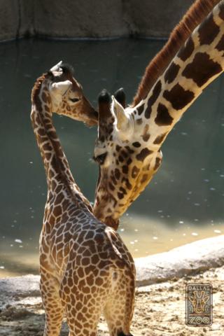 Dallas Zoo Giraffes Katie and Kipenzi