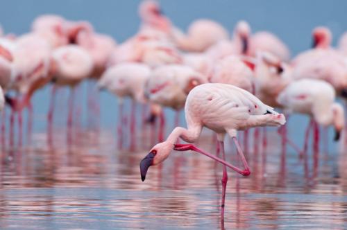 Flamingo_HI_301165