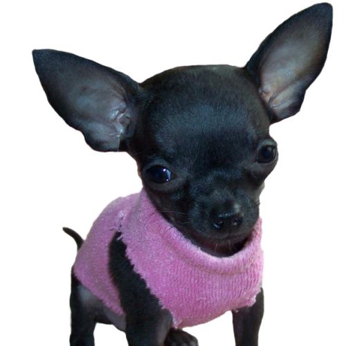 Chihuahua-deer-head-teacup